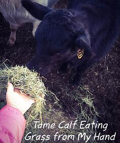 Tame_calf_eating_grass_from_my_hand