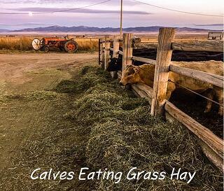 Calves_eating_grass_hay