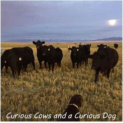 curious_cows_and_a_curious_dog