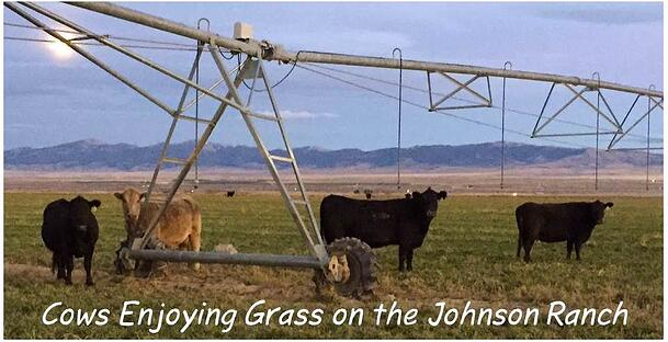 cows_enjoying_grass_on_johnson_ranch