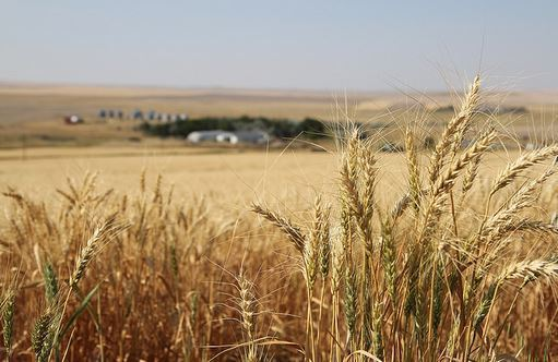 Conventional Wheat Methods: Is Gluten Really to Blame for Poor Health?