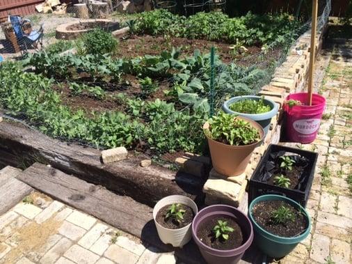 garden_lettuces_web
