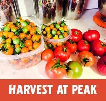 harvest_vegetables_at_peak.jpg