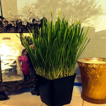 grow_a_mini_wheat_field